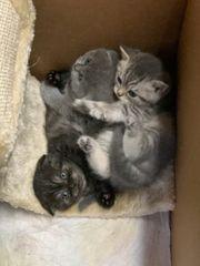 Scottish Fold kurzhaar Kitten