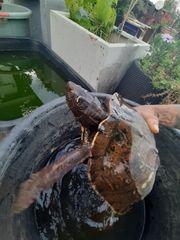 Falsche Landkartenschildkröte Graptemys pseudogeographica pseudogeographica