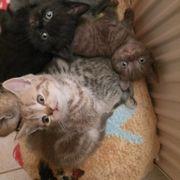 BkH Kitten reinrassig verschiedene Farben