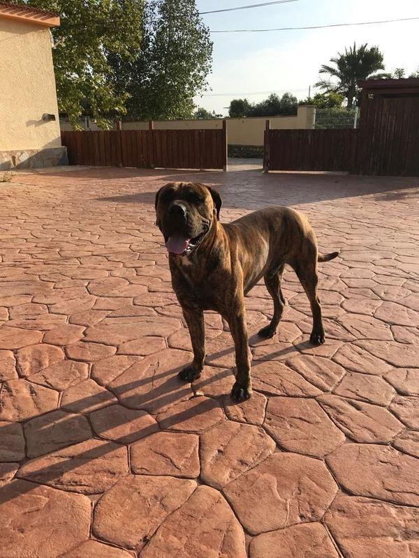 Goldgestromter muskulöser Dogo Canario V1