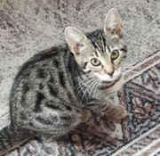 Wunderschöne Mixkatzen zu verkaufen