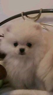 Pomeranian Junge u Mädchen mini