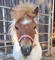 Pony Shetlandpony Kinder Pony