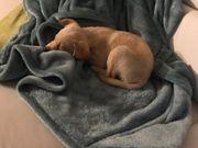 Reinrassiger Labrador Retriever