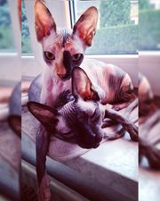 Cattery Cecesphynx