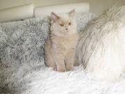 BLH Kater Kitten reinrassig in