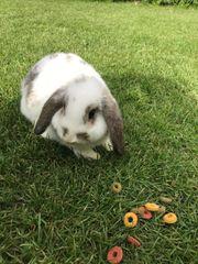 Zwergkaninchen Kaninchen - 12 5 Wochen