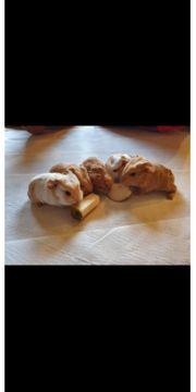 CH Teddy Meerschweinchen Babys Jungs