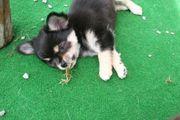 Super süße Chihuahua Welpen LH