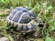 Griechische Landschildkröte thh Weibchen adult