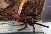 Tliltocatl vagans Weibchen mit Terrarium