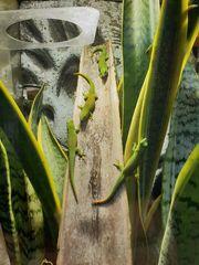 Phelsuma grandis Madagaskar Taggecko