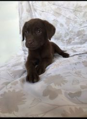 Schäferhund Labrador mix Welpen
