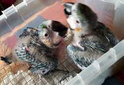 Gelbbrustarababies zur Aufzucht handzahm