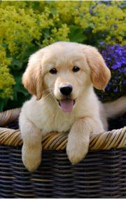 Suche Golden Retriever oder Labrador