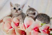 BKH Kitten 2 Kater sind