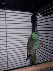 Singsittiche Junges Pärchen Zuchtreif Papageienart