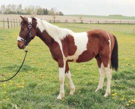 Pinto Pony Jährling Kleinpferd: Kleinanzeigen aus Geiselhöring - Rubrik Pferde