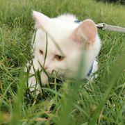 BKH Kitten in weiß