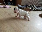 Staffordshire Terrier Welpen