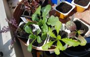 88 Asia Salat Jungpflanzen - Red