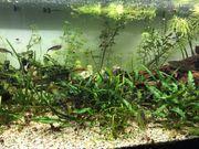 Aquarium Bodenpflanzen zu verkaufen