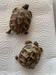 Pärchen Griechische Landschildkröten Nachzucht 2020