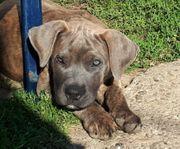 Dogge Dogo canario Cane Corso