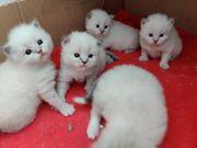 Sibirische Katze Neva Masguarade