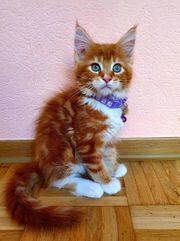 Maine-Coon-Weibchen in ROT red tabby