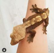 Kronengecko Kroni Correlophus ciliatus Männchen