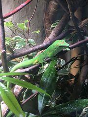 Madagaskar Taggecko phelsuma grandis male