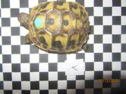 Nachzuchten 2019 griechischer Landschildkröten