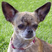 Nickilein 6 5 Jahre - Chihuahua -