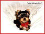 Traumhaft schöne kleine Yorkshire Terrier