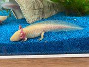 Axolotl Nachzucht