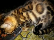 Bengal Kitten Reinrassig abgabebereit