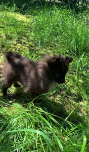 Pomchi Pomeranian Chihuahua Welpe