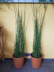 Schachtelhalm - Kübelpflanze Gartenpflanze Teichpflanze