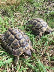 Griechische Landschildkröten Hugo und Bert