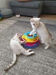 BKH reinrassig Kätzchen