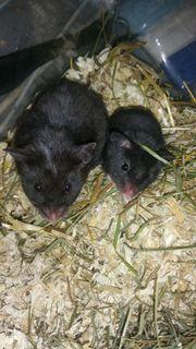 3 kleine Goldhamster Babys zur