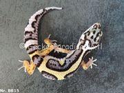 Leopardgecko 2020 Weibchen Männchen Bold