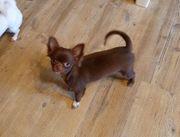 Chihuahua Welpe Hündin aus kompetenter
