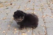 Reinrassiger Pomeranian Welpe - Rüde