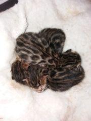 Bengal Kitten reinrassig Bengalkitten