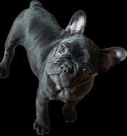 weiblich und männlich Französische Bulldoggenwelpe