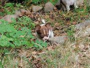 kleine chihuahua suchen