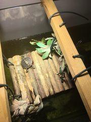 Zierschildkröte Chrysemys picta dorsalis zu
