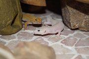2 Leopardgeckos suchen ein neues